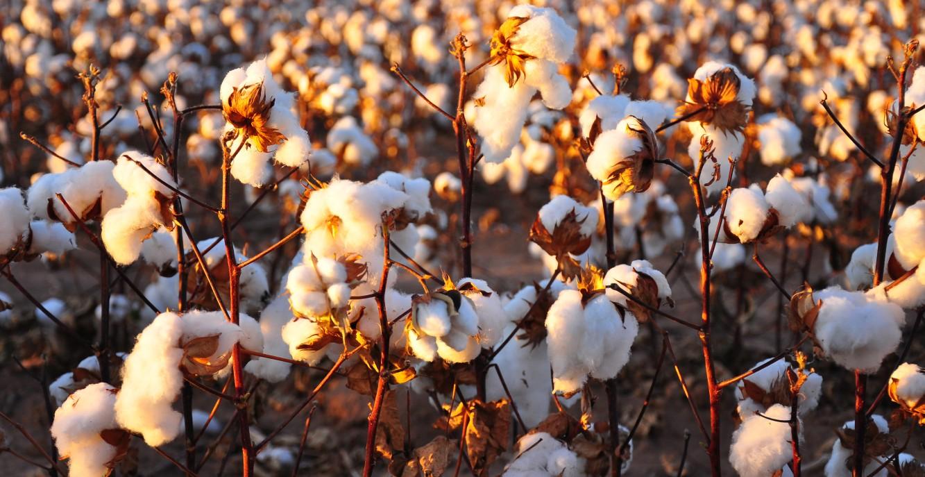 La raccolta del cotone
